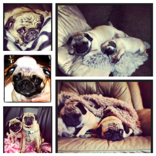 Lola and Dixie the Pugs
