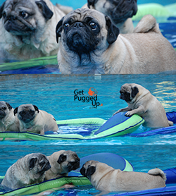 Image of cute pugs playing in the pool