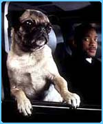 Pic of Frank the Pug Men In Black