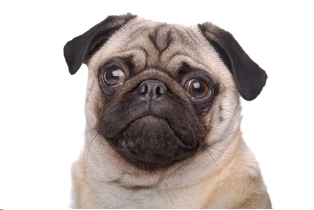 7 Healthy Pug Tips - Health and Diet Guide